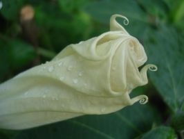 The unopened Moonflower by yorksensation