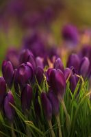 Crocus-1-2013 by toshema