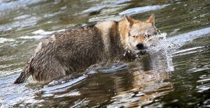Water Wolfdog by Czertice