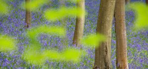 Bluebells Through Beech by Alex37