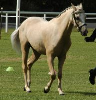 Palomino-riding-pony-38 by tbg-stock-images