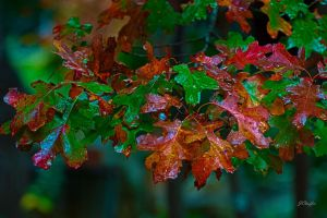 Fall Spanish Oak by jdchaffee