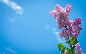 Lilacs Reaching For The Clouds. by JPGagnon