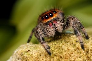 New jumping spider by macrojunkie