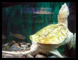 Albino Snapping Turtle 291 by caybeach