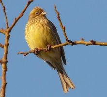 Yellowhammer by miirex