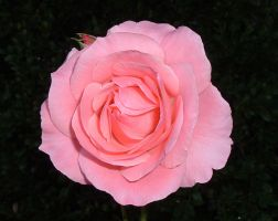 Pink Rose by Arsenica-stock