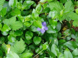 Shy Periwinkle Blossom (Vinca major) by mizufusion