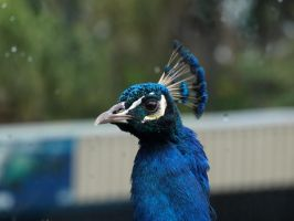 Peacock 2 by FireflyPhotosAust