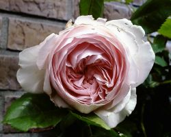 pinkrose2a by priesteres-stock
