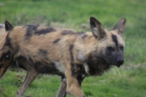 African Wild Dog by lucky128stocks