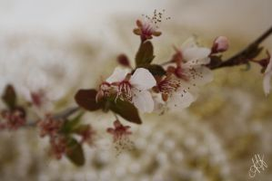 Cherry Blossom by AndreaHaesler