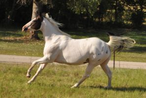 Marshmallow gallop by Feather-Stock