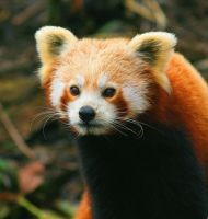 Red Panda by NightMagican