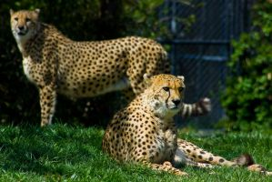 cheetah292 by redbeard31