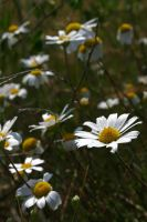 Daisy 03 by mordoc-stock