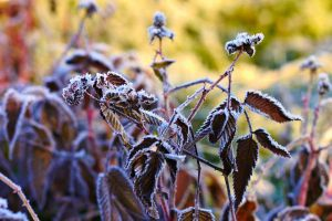 frozen raspberries bush by MrFotkerman