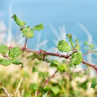 Brambles by peterpateman