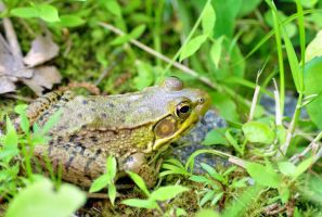 oblivious leopard frog by Mjag