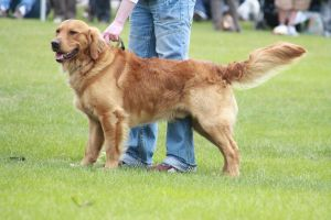 Golden Retriever 72 by zgal