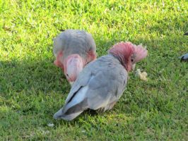 Galahs by Nerdroditie