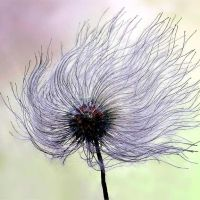 Clematis Seed Head by hold-steady