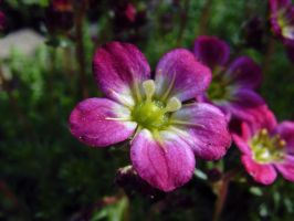 Saxifraga x arendsii: Tiny Perfection by Paul774