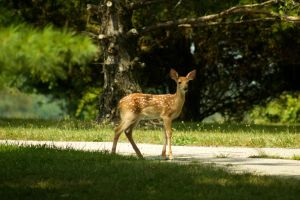 A-Z Photo Challenge - Day 6-26: Fawn by dinodude411