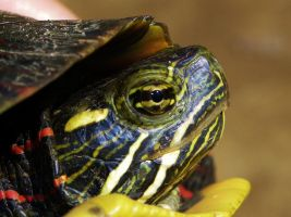 Eastern Painted Turtle by Stone1980