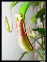 Nepenthes Ventrata by Katlinegrey