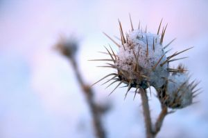 Snowed thistle by MoxMonica