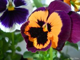 pansy by florina23