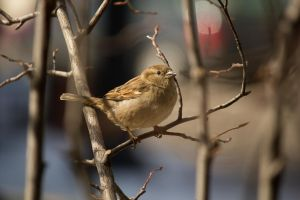 Female House Sparrow 2014 2 by toshema