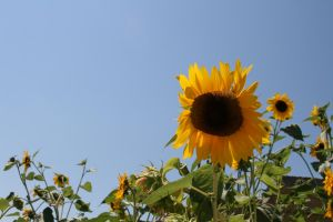 Sunflower by Riddande