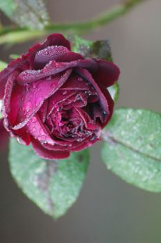 Roses Dew by Spree5326