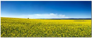 Canola Fields by jcantelo