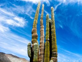 Cardon Cactus by Know-The-Ropes