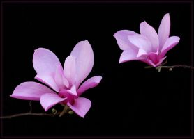TWO MAGNOLIAS by THOM-B-FOTO