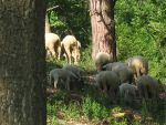 Sheeps behind our garden fence by Sarkytob