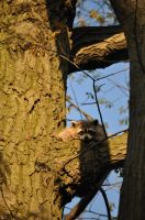 Raccoon by tomegatherion