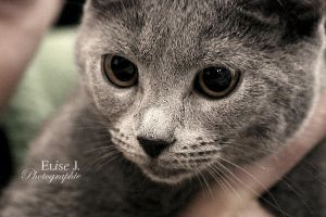Chartreux by EliseJ-Photographie
