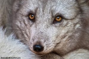 Arctic Fox in Detail by amrodel