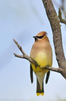 Cedar Waxwing by robbobert