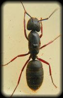 carpenter ant by Enirroc