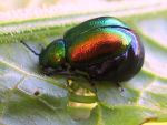 Green Dock Beetle with eggs by iriscup