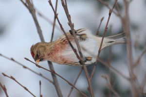 Redpoll 2 by spartout