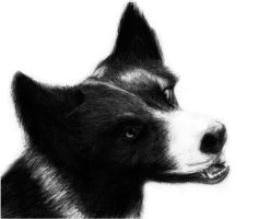 Collie Dog Drawing by slippy88