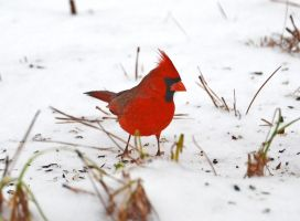 Snow Cardinal 2-13-14 by Tailgun2009