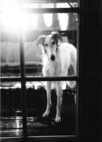 Borzoi Looking In by iddieforana