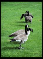 Unleash the Geese. by Bleezer